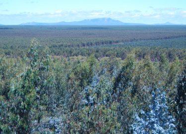 Eucalypt plantation