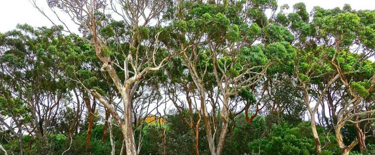 forest of eucalypts
