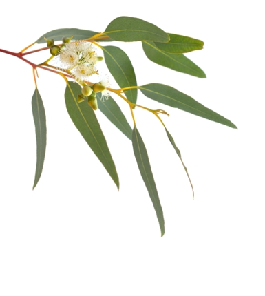 image of healthy eucalypt leaves