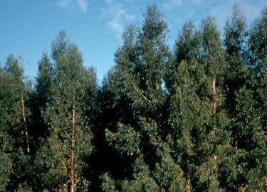 Bluegum plantations
