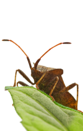 Stinkbug on the green leaf isolated on the white background